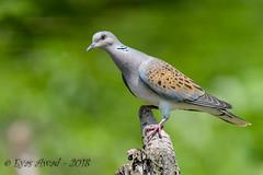 x3D40_3657 (Eyas Awad) Tags: tortoraselvatica streptopeliaturtur bird birds birdwatching wildlife nature eyasawad nikond4 nikond500 sigma500f45 nikonafs300mmf4