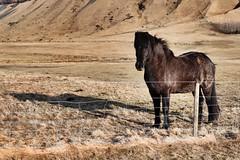 Icelandic far west (carolinatfe) Tags: islandia iceland canon750d canon caballos horse
