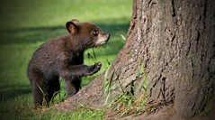 Wet Spring Cub Heads Up The Oak(300.0 mm) (Direwolf131) Tags: