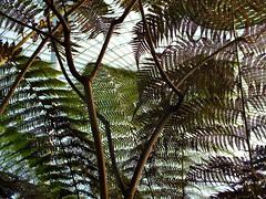 Ferns in Glasgow Botanics (th1stleandr0se) Tags: ferns botanic botanical garden glasgow