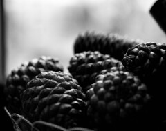 Pine Cones (joshdgeorge7) Tags: blackandwhite ilford hp5 takumar pentax asahi pine gloucestershire large format film nature