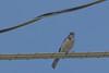 IMG_6552 (armadil) Tags: frontyard bird birds jay jays scrubjay