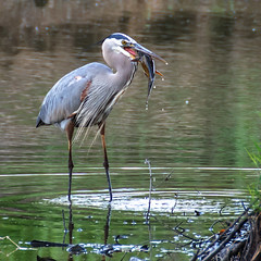 Quick Lunch (Middle aged Nikonite) Tags: heron catfish swallow nature water lanscape outdoor nikon d750 tamron 70300 california avian aviary grey lodge wildlife area catch bird