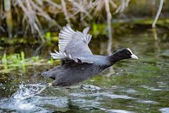 Run Forest, run! (Paul Wrights Reserved) Tags: coot coots bird birding birdphotography birds birdwatching birdinflight running runningbird walkingonwater