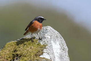 Common Redstart ♂️
