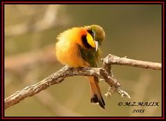 LITTLE BEE-EATERS (Melittophagus pusillus).....NAIROBI NAT PARK....SEPT 2015. (M Z Malik) Tags: nikon d800e 400mmf28gedvr kenya africa safari wildlife nairobinatpark exoticafricanwildlife exoticafricanbirds birdsofeastafrica ngc npc