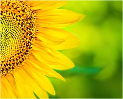 Sunflower (janetfo747 ~ Dreaming of Africa) Tags: heart platinumheartaward sunflower sun flower yellow sunner