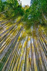 Arashiyama (jnhPhoto) Tags: japan jnhphoto arashiyama bamboo kyoto tall trees scenic unique fun