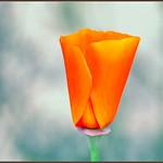 Poppy Portrait thumbnail