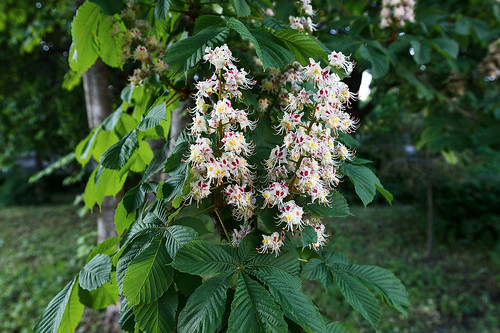 Chestnut flowers