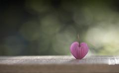 A single heart (Funchye) Tags: lamprocapnos heart hjerte løjtnantshjerte dicentra coeurdemarie nikon d610 105mm bokeh