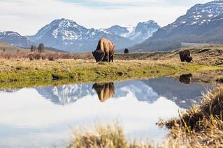Bull bison graze along an ephemeral pool in Lamar Valley