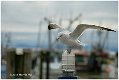 Wings of Imagination - Steveston XP7947e (Harris Hui (in search of light)) Tags: harrishui fujixpro2 digitalmirrorlesscamera fuji fujifilm vancouver richmond bc canada vancouverdslrshooter mirrorless fujixambassador xpro2 fujixcamera fujixseries fujix fuji90mmf2 fujiprimelens fixedlens seagull steveston stevestonvillage bird metaphor wings imagination winter morning misty foggy