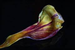 Tulip petal (Arkle1) Tags: macromondays lowkey