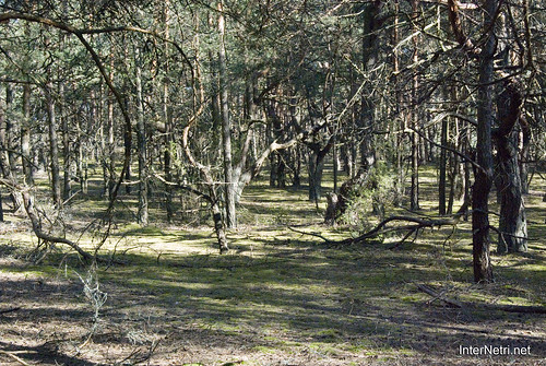 Волинський ліс InterNetri Ukraine 0658807782