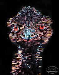 Painted Emu (Paula McManus) Tags: paulamcmanus southaustralia sapf southaustralianphotographicfederation olympus olympusomd emu creative art arteffect blackbackground urimbirra australia fauna australiananimal australianbird