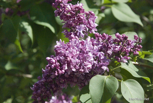 Сад бузків Ботанічний сад імені Гришка InterNetri  Ukraine 15