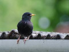 starling (sure2talk) Tags: starling blackbird nikond7000 nikkor70300mmf4556afsifedvr
