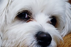 """""""I see you!"""" ;) (green_lover) Tags: dog dogs fela maltese pets eyes smileonsaturday eyecatcher face nose furry white animals"""