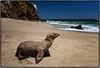 Surf's up, time to go for a swim ! (drpeterrath) Tags: canon eos5dsr 5dsr color ocean malibu zuma seal animal california sun sky cloud beach water travel nature losangeles