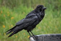 "...""Nevermore""... (alicecahill) Tags: raven usa wild wildlife ©alicecahill marincounty bird black pointreyesnationalseashore california animal"