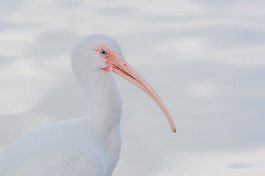 Head of the Curve (opheliosnaps) Tags: bird animal portrait white ibis american eudocimus albus new orleans louisiana usa hooked bill curved curve long blue eye bokeh water lake audubon park south wild nature outdoors road trip head shot