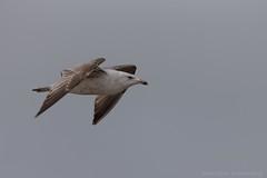 juvenile lesser black-backed gull (Allan Dean Photography) Tags: gulls birds birdsinflight eos canon closeup coastal coast nature norfolk wildlife wild wildbird