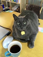 Yuba's Breakfast (sjrankin) Tags: 21may2018 edited animal cat yuba table kitchen computer mouse coffee cup cupofcoffee yubari hokkaido japan