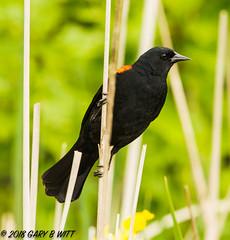 Red-winged Blackbird (orencobirder) Tags: songbirds flickrexport blackbirds birds