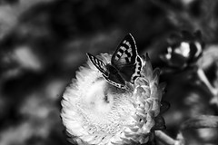 Everlasting (Konakilo) Tags: butterfly mariposa canonef2880mmiiusm everlasting canoneos10d
