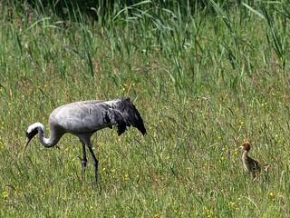 Common crane with two chicks / Kranich mit zwei Küken (Grus grus)
