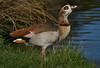 Egyptian Goose (paulinuk99999 (lback to photography at last!)) Tags: paulinuk99999 egyptian goose bird wildfowl bushy park surrey inland wildlife sal70400g