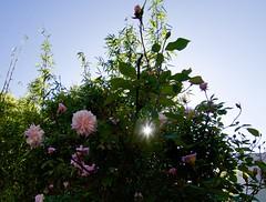 Good morning, roses! (Cathy de Moll) Tags: roses flickrfriday flare morning light sunrise backlit rosebuds silhouette