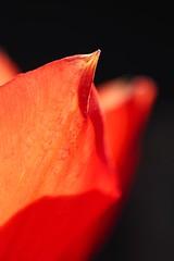 Pointy Petals (haberlea) Tags: garden mygarden tulip macro petals red flower nature