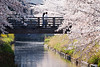 "20180427_29_spring SNAP (foxfoto_archives) Tags: sigma sd quattro 100400mm f563 dg os hsm c017 "" light bazooka "" developed by photo pro 660 sdquattro sdq foveon ライトバズーカ 桜 サクラ さくら spring snap 春 スナップ cherry blossoms japan chiba 日本 千葉"