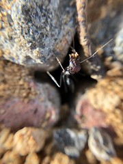 (denisgorobets) Tags: closeup iphone8 iphone macro ant israel ariel insect
