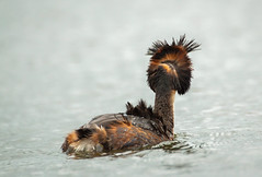 GCG bad hair day... (petegatehouse) Tags: gcg greatcrestedgrebe windswept