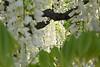 From a small window (k-o-m-a-n-e-k-o) Tags: nikon d750 wisteria 藤 tree leaf 白 紫 木 葉 花 flower white purple