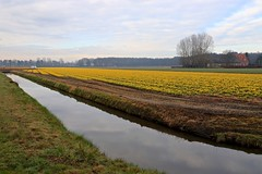 Narcissus Field (YY) Tags: netherlands lisse flowers field creek river stream southholland holland daffodil narcissus