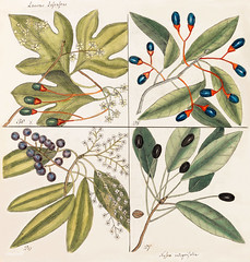 Tupelo Tree (Arbor in aqua nafeens) , Red Bay (Laurus Carolinenfis), Purple-berried Bay (Liguftrum Lauri folio), Saffafras Tree (Cornus Mas odorato) from The Natural History of Carolina, Florida, and the Bahama Islands (1754) by Mark Catesby (1683-1749). (Free Public Domain Illustrations by rawpixel) Tags: tags aqua arbor bahama bay berry carolina carolinenfis catesby cornus florida folio history island lauri laurus liguftrum mark markcatesby mas nafeens name natural odorato purple red saffafras tree tupelo