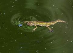 Palmate Newt - female taking a breath (Chalto!) Tags: newt palmatenewt amphibian garden pond home hythe hampshire animal