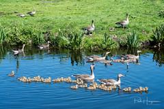 Goose family (PaulHoo) Tags: nikon d750 animal nature goose geese bird newborn spring water swim landscape 2018 family