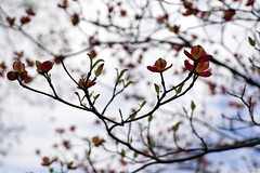 in session (larrynunziato) Tags: spring blossom buds may