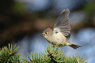 Roitelet à couronne rubis / Ruby- crowned Kinglet