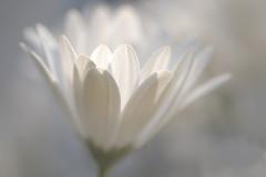 Immanence (christophe.laigle) Tags: christophelaigle fleur macro pétales nature flower fuji light blanc lumière xpro2 xf60mm white