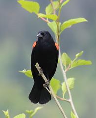 IMG_7762 Red-winged Blackbird male (Jon. D. Anderson) Tags: nisquallynationalwildliferefuge birdsofwashington bird washingtonbirds blackbird redwingedblackbird agelaiusphoeniceus