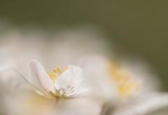 Une dans le groupe (sosivov) Tags: sweden flowers macro anemonenemorosa woodanemone white bokeh smileonsaturday catchthebokeh