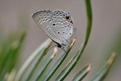 Butterfly macro (hasham2) Tags: 100mm28macro k3 pentax pattern cupid butterfly macro macromonday