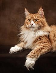 My Buddy Gulliver (cindiefearnall) Tags: mainecoon cat feline petportrait studioportrait redtabby petphotographer animal companionanimal flashphotography
