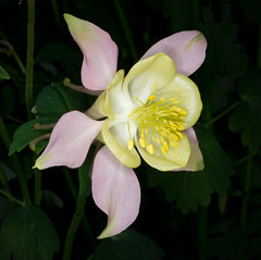 Aquilegia (tresed47) Tags: 2018 201805may 20180508longwoodflowers canon7d chestercounty columbine content flowers folder longwoodgardens may pennsylvania peterscamera petersphotos places season spring takenby us